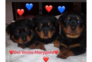 DEL VENTO MARY GOLD PUPPIES