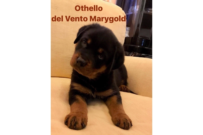 Othello del Vento Marygold 22-07-17